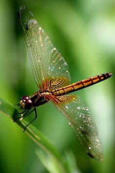 Hong Kong Dragonfly