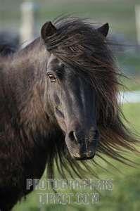 Stock Photography image of Black Shetland pony stock photo ...Reminds me of my pony!