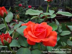 'Artistry' Hybrid Tea Rose - It's What's Blooming This Week In My Alabama Rose Garden | The Redneck Rosarian