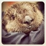 A new otter at the Aquarium of the Pacific!  I wanna feed it small fishes!!