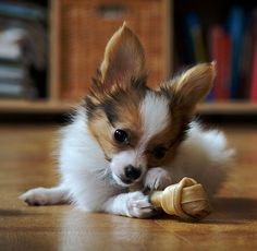 And as puppies.   A Guide To Papillons, The Most Underrated Of French Imports