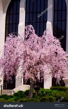 Pink weeping pussy willow tree flower ideas pinterest willow pink weeping cherry willow tree by church stock photo 52457809 mightylinksfo