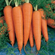 At True Leaf Market Seed Co., find a vast assortment of vegetable seeds, including Organic Carrot Danvers 126 Garden Seed. Packet to bulk wholesale. Free S&H. Root Vegetables, Organic Vegetables, Veggies, Mountain Valley Seeds, Still Tasty, Carrot Seeds, Seeds Online, Organic Seeds, Organic Gardening Tips