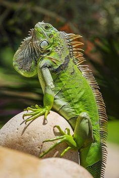 Iguana. Iguane vert. (Iguana iguana).