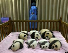 chengdu panda cubs