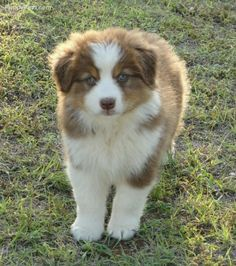 Everything we enjoy about the Australian Shepherd Puppies Australian Shepherd Husky, Aussie Shepherd, Australian Shepherds, Aussie Puppies, Cute Puppies, Dogs And Puppies, Blue Merle, Border Collie, Pets