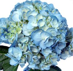 Hydrangeas remind me of my grandmother. She had huge bushes of them all the way around her house.