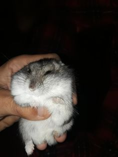 This sub is dedicated to hamsters and their humans. Fluffy Animals, Animals And Pets, Funny Hamsters, Anime Animals, Hampers, Cute Funny Animals, Animal Pictures, Dog Cat, Wildlife