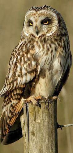 Owl Photos, Owl Pictures, Owl Bird, Pet Birds, Beautiful Birds, Animals Beautiful, Owl Tattoo Drawings, Animals And Pets, Cute Animals