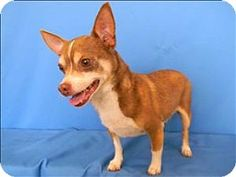 Huntsville, AL - Chihuahua Mix. Meet Rusty a Dog for AdoptionHello there, I'm Rusty! I'm an older chihuahua mix, but you wouldn't know it to see me run! Lots of people say I have the energy of a 3-year-old, but what can I say, I love to play! I like other dogs & all kinds of people, please come meet me at the shelter!.