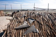Shark Fishers in Madagascar Sell Fins for Pennies