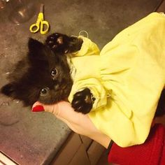 Our cute little kitten is dressed up for Christmas ball Black Kittens, Cute Little Kittens, Christmas Balls, Photo And Video, Yellow, Dogs, Animals, Instagram, Small Kittens