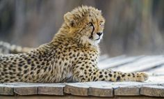 One of the best cheetah cub portraits ever.