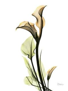 Photographic Print: Calla Lily by Albert Koetsier : Calla Lily Tattoos, Flower Images, Flower Art, Calla Lillies, Botanical Illustration, Watercolor Flowers, Beautiful Flowers, Art Prints, Photos