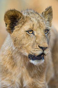 Big cub portrait by Tambako The Jaguar on Flickr