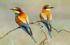 #Animals, #Bee-Eater, #Colored, #Birds, #Natural, #1667X2500 Free Download : https://urlgo.net/74f77 See More At : http://www.pixaap.com/en/c/17/Animals/1