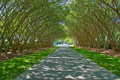 """At the Dallas Arboretum and Botanical Garden in Texas, a mature planting of soaring crape myrtle makes a majestic choice for an allée. The trees' smooth, cinnamon-colored bark and gestural branching provide visual interest year-round. The pathway is paved in Pennsylvania bluestone, creating a formal walkway that leads to a water feature dubbed """"Frog Fountain,"""" a much-loved destination."""