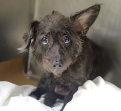 8/18/16 PRINCESS CAME IN WITH LOLA - STILL THERE!! Manhattan Center LOLA – A1085082  SPAYED FEMALE, BLACK, YORKSHIRE TERR MIX, 6 yrs OWNER SUR – EVALUATE, NO HOLD Reason MOVE2PRIVA Intake condition UNSPECIFIE Intake Date 08/11/2016, From NY 10452, DueOut Date 08/11/2016, I came in with Group/Litter #K16-069677