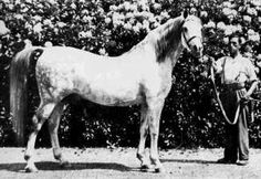 RAKTHA (Naseem x Razina, by Rasim) 1934 grey stallion
