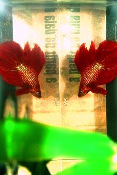Betta's short history: Willian Wilson fishs.    Foto de Lauana Fidêncio, Minas Gerais, Brasil.