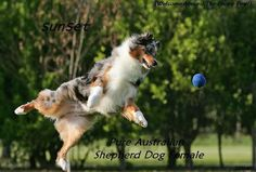Australian Shepherd Dog Image