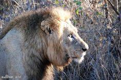 Panthera leo (Dreadlocks)