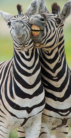 Zebras - Say Cheese!