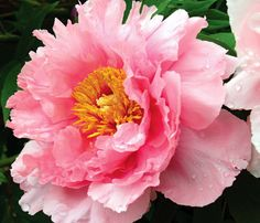 peony flowers image - Google Search