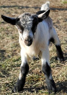 Sarah can have her miniature donkey... I want goats!