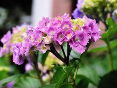 I když jsou hortenzie považovány za venkovní zahradní rostliny, překvapivě skvěle se jim daří i v květináči. Ať již jej umístíte na balkon, terasu nebo vedle vchodových dveří. Některé hortenzie …