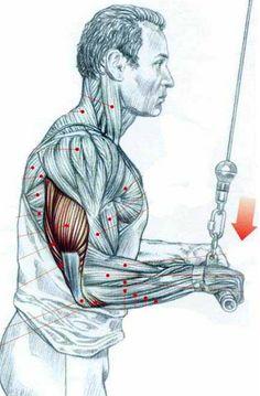 Forearm Workout, Triceps Workout, Man Anatomy, Muscle Anatomy, Fit Board Workouts, Fun Workouts, Human Skeleton Anatomy, Weight Lifting Motivation, Sweat Workout
