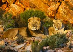 King of the Jungle - Aquila, South Africa