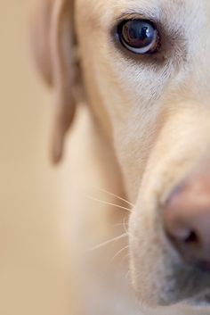 ~I just love taking photos like this of our yellow lab, Trixie. Those eyes...Window to her soul. *