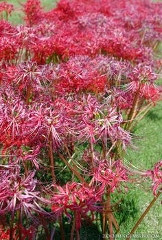 Higanbana (red spider lily, 彼岸花) can be seen everywhere right now. It's a sign that autumn is around the corner.