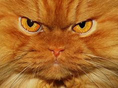 Angry cat.