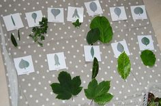 Plant a variety of trees outside so children can see samples of the various shapes from the botany cabinet