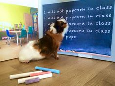 """Guinea Pig """"I will not popcorn in class"""" photo for back to school from Piggy Haven!"""