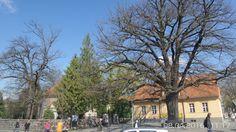 Die Zehlendorfer Eiche.Der Baum wurde nach dem Ende des Deutsch-Französischen Krieges am ersten Jahrestag der Schlacht bei Sedan, dem 2. September 1871, als Friedenseiche dort gepflanzt. Darauf verweist auch eine Bronzetafel an der Südseite des Stammes.