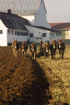 Plowing with Mule Power in Lancaster, Pennsylvania.