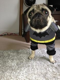 The Pug Gotham deserves.