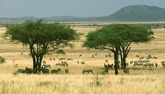 This is a typical picture of a savanna biome. It is mostly grassland, but also has some trees. The normal temperatures in a savanna are degrees F. Savanna Biome, Savanna Animals, Parc National, National Parks, Grassland Biome, Savanna Grassland, Bermuda Grass, East Africa, Savannah Chat