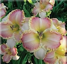 peonias arbustivas y herbaceas -