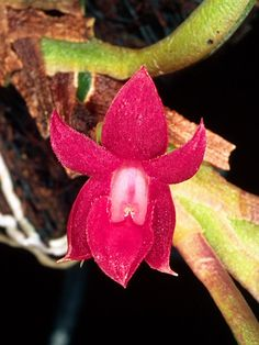 Epidendrum sophronitoides -Found in Venezuela, Colombia and Ecuador in cloud and elfin forests as a mini-minature-sized, cold to cool-growing epiphyte at elevations of [1400] 2000 to 3400 meters.