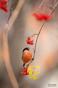 Framing birds~~Autumn spirits ~ Male Bullfinch (Pyrrhula Pyrrhula) by ~BogdanBoev~~ Pretty Birds, Love Birds, Beautiful Birds, Bullfinch, Bokeh Photography, White Photography, Bird Pictures, Little Birds, Bird Watching
