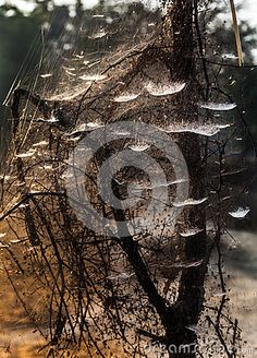 A tree covered with spider web
