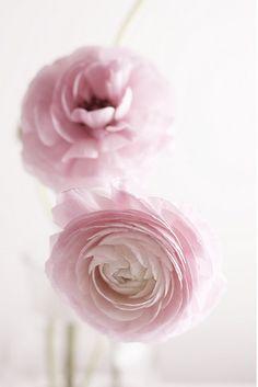 The Rose and Princess Sweetpea All Flowers, Fresh Flowers, Spring Flowers, Pretty In Pink, Beautiful Flowers, Wedding Flowers, Just Girly Things, Ranunculus, Peonies
