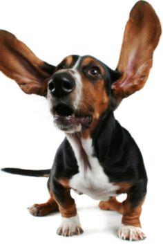 Basset hound We have named our next GIRL basset... Bessy!