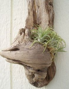 Display ideas with neat Tillandsia air plants in shells, driftwood, and glass globe terrariums. Tillandsia air plant in a large conch sh. Driftwood Planters, Driftwood Projects, Driftwood Art, Driftwood Ideas, Hanging Planters, Air Plant Display, Plant Decor, Air Plants, Indoor Plants