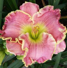 Lovely pink seedling