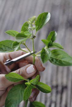 Gabriela Pastro Olá, queridos leitores!! O melhor coisa de termosnossa horta é podermos colher o que semeamos, não!? É o momento de saborearmos o sucesso de nossa horta, porém para atingirmos este…